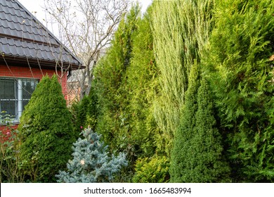 Hedge of high eastern thuja Platycladus orientalis, also known as Chinese arborvitae, eastern arborvitae, biota or eastern arborvitae. In foreground is blue Hupsey spruce and Canadian conica spruce.