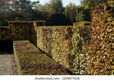 A hedge of  the hornbeam Carpinus betulus with different hights