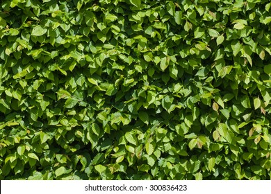 Hedge (hornbeam) - natural green leaves wall - texture background