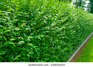 Hedge of Ligustrum vulgare 'Atrovirens'