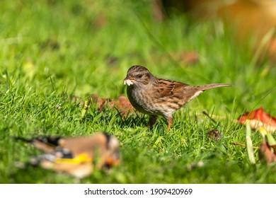 Hedge sparrow or Dunnock (Prunella modularis) bird feeding on a garden grass lawn in the UK, stock photo image