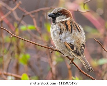 A hedge sparrow waits on a branch in early spring, Herefordshire, UK