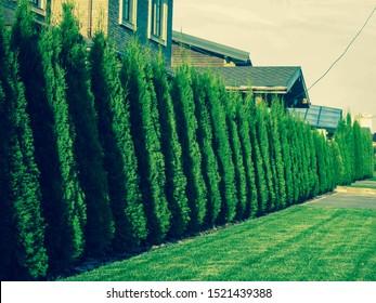 Hedge of TUI trees on a Sunny day. Kind of a long Avenue of TUI