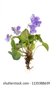 hedge violet with roots over white background