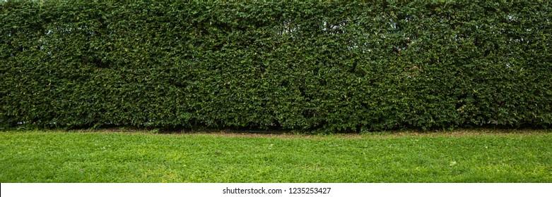 Hedge wall backdrop panorama