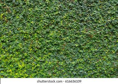Hedge, A wall with a tree