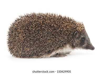 Hedgehog, 3 weeks old, in profile on white background