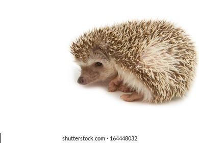 Hedgehog , African pygmy hedgehog