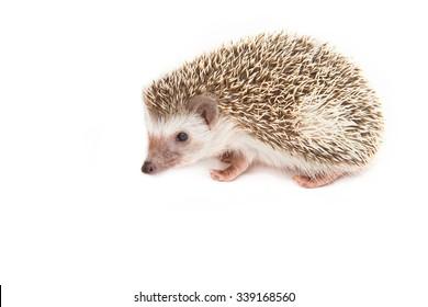 Hedgehog , African pygmy hedgehog on white background
