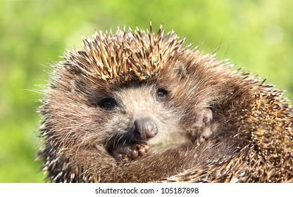 Hedgehog against natural background