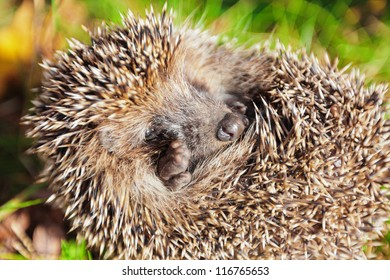 Hedgehog among green grass and fall leaves