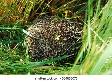 Hedgehog among the green grass in the garden