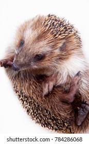 Hedgehog animals studio quality