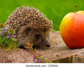 Hedgehog and apple on the tree stump