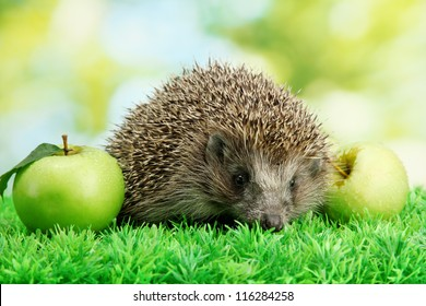 Hedgehog with apples, on grass, on green background