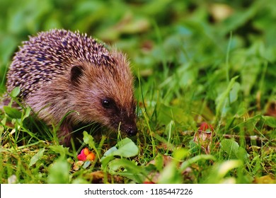 Hedgehog in the autumn forest. Ordinary hedgehog or European hedgehog, Erinaceus europaeus, common species of hedgehod