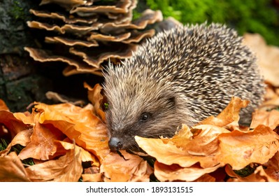 Hedgehog in Autumn.  Scientific name: Erinaceus Europaeus.  Wild, native, European hedgehog foraging in copper beech leaves in natural woodland habitat.  Facing left.  Horizontal.  Space for copy