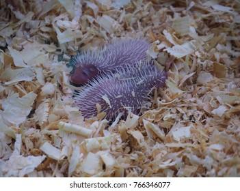 hedgehog. baby hedgehog Newborn sleeping