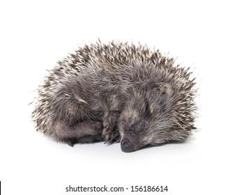 hedgehog baby sleeping on white background, hedgehog