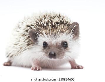 hedgehog baby white background