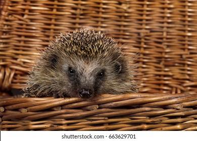 Hedgehog in a basket