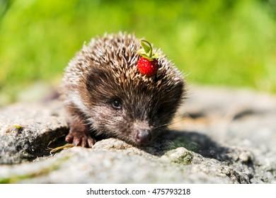 Hedgehog with berries