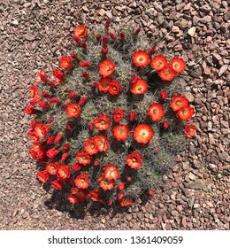 Hedgehog cactus in bloom (Echinocereus engelmannii)