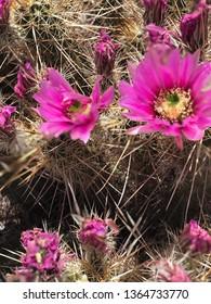 Hedgehog cactus pink blooms in the desert in Arizona in the springtime.