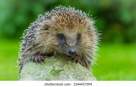 Hedgehog, close up head, shoulders and paws of a wild, pretty, European hedgehog looking over a stone with blurred green background.  Scientific name: Erinaceus Europaeus.  Landscape, horizontal.