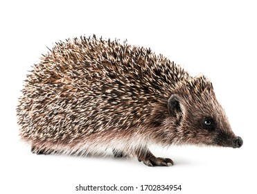 Hedgehog close-up on a white background. Isolated