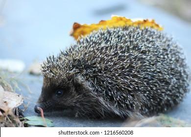 Image result for Raw pork hedgehogs bright side