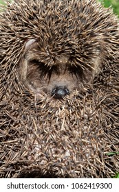 hedgehog, curled into a protective ball. the shadow of the thorns looks like an eyelash