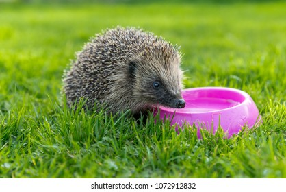 Hedgehog drinking water from a pink bowl on green grass.  Native, wild, european hedgehog on a warm day in Spring.  Horizontal, landscape.  Hedgehog facing right.  Erinaceus europaeus