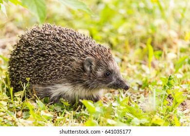 hedgehog eating clover leaf and looking into camera.