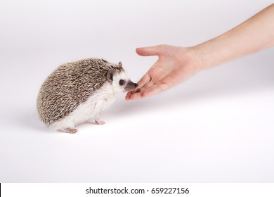 A hedgehog eating food from a child's hand on a white background