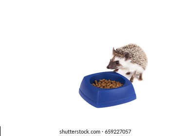 A hedgehog eating food from a dish on an isolated white background