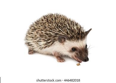 hedgehog eating isolated on white background