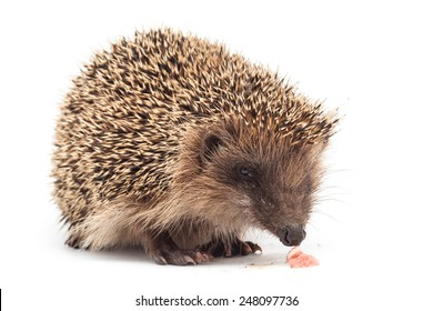hedgehog eating a piece of meat isolated on white background