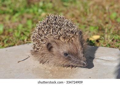 Hedgehog (Erinaceomorpha Erinaceinae Erinaceidae) spiny mammal animal
