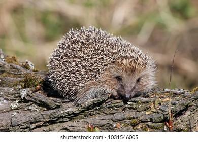 Hedgehog (Erinaceus europaeus).
