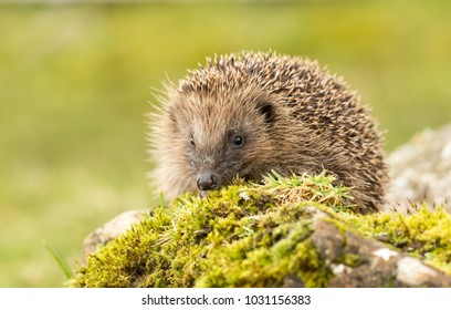 Hedgehog, (Erinaceus europaeus) native,  wild hedgehog in natural woodland habitat, on green moss facing forwards and to the left.  Blurred green background.  Landscape. Horizontal. Space for copy.