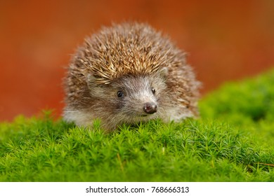 Hedgehog, Erinaceus europaeus, on a green moss at the forest, photo with wide angle. Hedgehog in dark wood, autumn image.Cute funny animal with snipes. Wildlife nature, Europe.