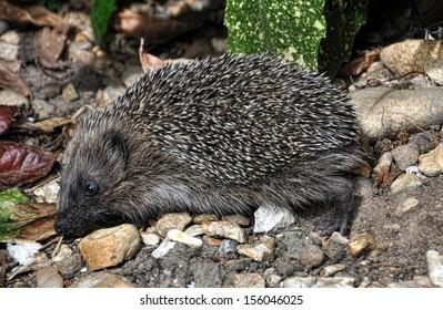 A hedgehog (Erinaceus europaeus) rummaging in a garden.