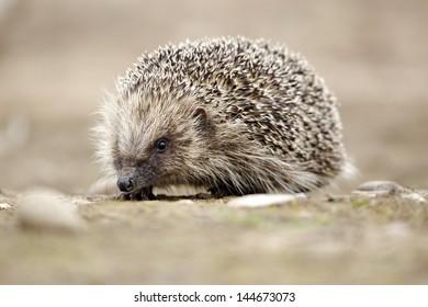 Hedgehog, Erinaceus europaeus, single mammal, Midlands, June 2011