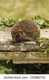 Hedgehog, Erinaceus europaeus, single mammal on tombstone in churchyard, Midlands, July 2008