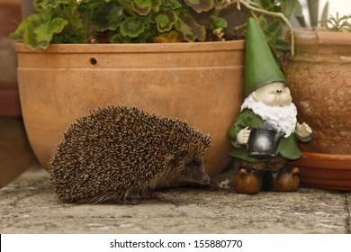 Hedgehog, Erinaceus europaeus, single mammal by flowerpot in garden, Midlands, July 2008