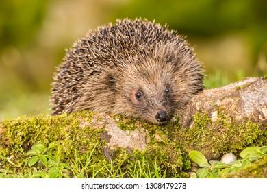 Hedgehog (Erinaceus Europaeus)  wild, native, European hedgehog in natural habitat on green moss log with blurred background. Close up. Horizontal. Landscape.