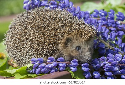 Hedgehog. The European hedgehog is one of the most common species of hedgehogs. Hedgehogs are nocturnal animals and is the single leading secretive lifestyles.