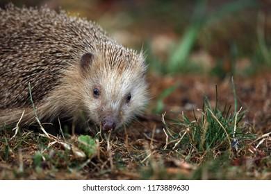 Hedgehog foraging in the garden