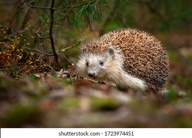 The hedgehog in the forest